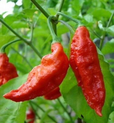 Red Ghost Chilli Seeds, Bhut Jolokia Hot Pepper 10 Seeds