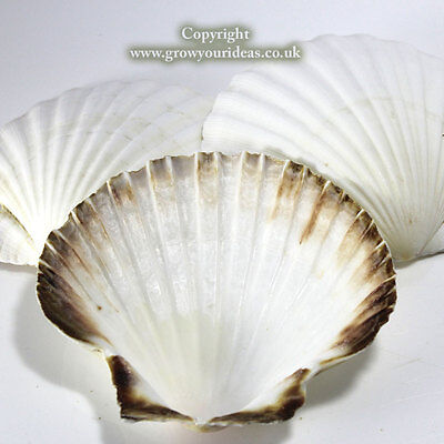 3 x Large Atlantic Scallop seashells.13-15 cm.for crafts & culinary use