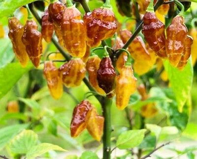 10/20 Hot Chili Pepper Seeds BOLIVIAN BUMPY Vegetable Seeds-High Quality