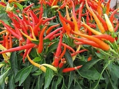 Hot Chili Pepper - PATIO FIRE - 15 Vegetable Seeds- High Quality- From 2017