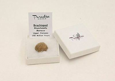 Boxed Brachiopod ( clam) Fossil - high quality fossil- Paradise Crow Discovery F