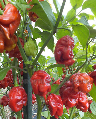 Hot Chili Pepper - CAROLINA REAPER CHOCOLATE -10 Vegetable Seeds-From 2017