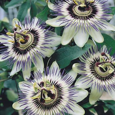 50pcs Passiflora caerulea seeds blue crown Passion Flower Hardy Perennial #P01