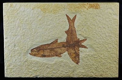 2 Two Knightia Eocaena Fossil Fish Green River Wy Eocene Age 3.2 Inches Long