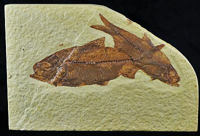 2 Two Knightia Eocaena Fossil Fish Green River Wy Eocene Age 4.5 Inches Long