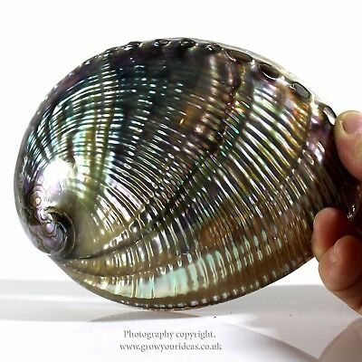 Green Polished abalone both sides Large seashell. 12.5-14cm
