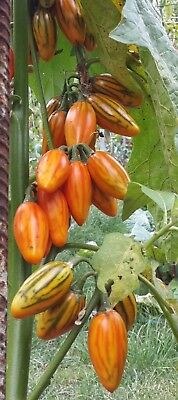30 Eggplant Seeds STRIPED TOGA Heirloom Aubergine Vegetable