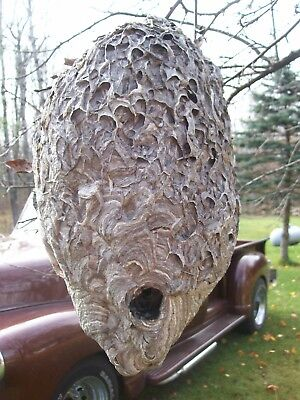 """Real Fresh Bald Face Hornets Paper Nest Wasp Taxidermy Cabin Cottage Decor 15"""""""