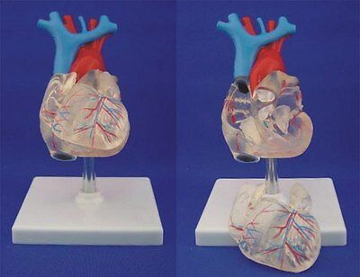 NEW Transparent heart anatomy medical anatomical model  42
