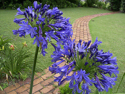 Agapanthus Seedlings, 50+ mix of blue and white, SUPER SPECIAL!