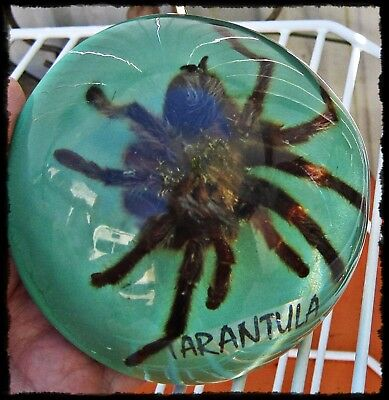 """Vtg Domed Lucite / Acrylic  REAL  Spider TARANTULA PAPERWEIGHT  4"""" D"""