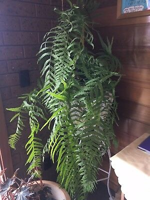 Large Indoor Ferns (RARE!  Cascading) 2 of 3