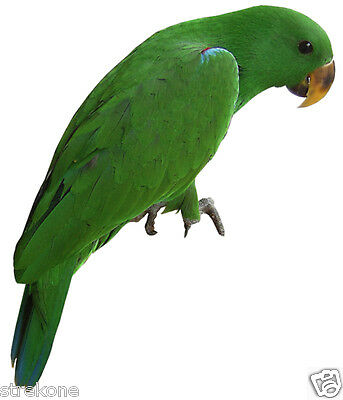 Wild Exotic Bird Green ECLECTUS PARROT Perched Pose - Window Cling Decal Sticker