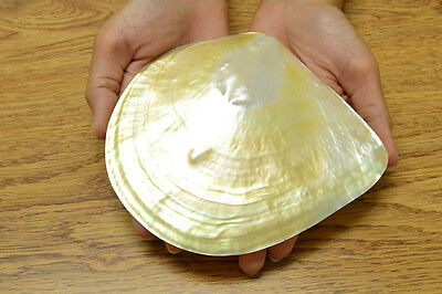 "Golden Mother Of Pearl Polished Sea Shell Plate Decor 5 1/2"" - 6"" #s7-050"