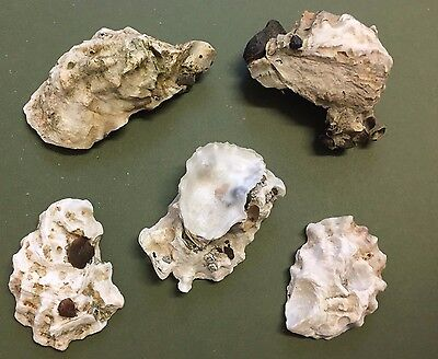 5 Big Oyster Sea Shells Natural Beach Seashells Aquarium Decoration Craft