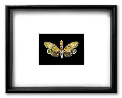 "REAL FRAMED CICADA - Peanut Headed Lanternfly - ART OF INSECTS 14"" x 11"" / Lot 1"