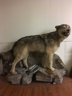 Alaskan Timber Wolf. length 65 inches. height 38 inches weight when alive 280 lb