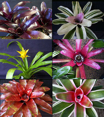 COLOURFUL BROMELIAD PACK... 10 broms, Variety of Types and Colours