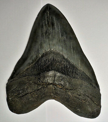 "Giant massive 6.1"" Megalodon tooth"