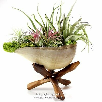Beautiful Air Plant Tillandsia garden in extra large shell and driftwood stand