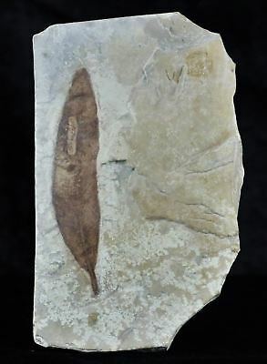 Highly Detailed Pseudosalix Handleyi Willow Fossil Plant Leaf 56 Million Yrs Old