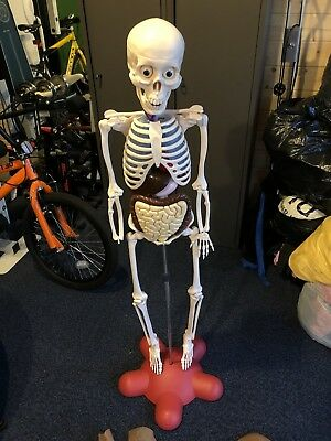 How Your Body Works - Billy Bones - Amazing Skeleton Model with Organs and Skin