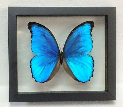 Blue Morpho Didius, Double-Glass Black Frame, Butterfly, Lepidoptera