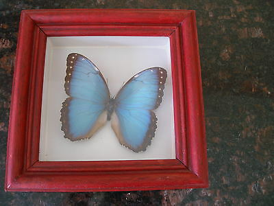 REAL BUTTERFLY MOUNTED IN A FRAME Blue Morpho Peleides Emperor