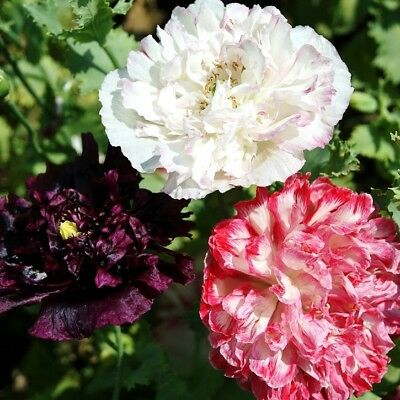 50+   Peony Poppy Antique Mix, Papaver   / Fast Self-Sown Annual  Flower Seeds