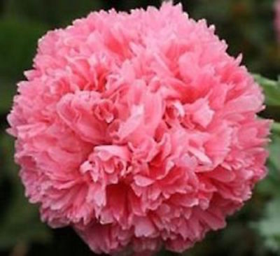 50+   Peony Poppy Papaver Salmon,  Fast Annual Self-Sown Flower Seeds