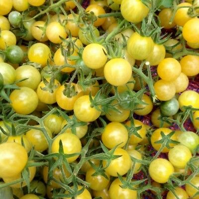20 Cherry Tomato Seeds COYOTE Heirloom Vegetable Organic-Sweet&Delicious