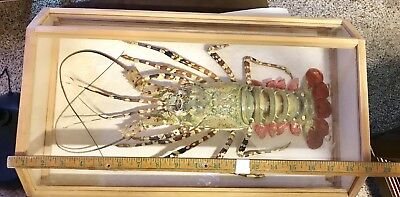 Spiny Lobster Taxidermy Beautiful Condition in wood Display Box Rock Ocean Life