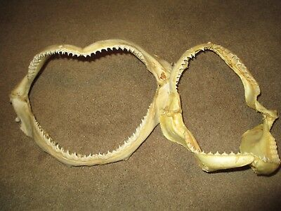 """Qty 2 Shark Jaws  Natural Not Bleached Unknown 11 X 7"""""""