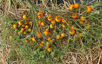 20 Tomato Seeds ORANGE CENTIFLOR Heirloom Vegetable-Cherry Multiflora Type