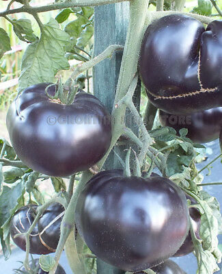 Tomato BLACK BEAUTY 10 Seeds Heirloom Vegetable Organic-World Darkest-Tomate