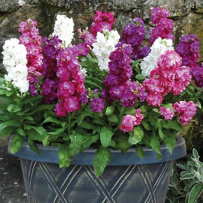 100pcs Stock Matthiola incana mixed colors flower seeds