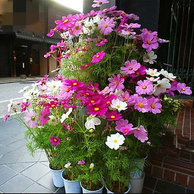100pcs Cosmos (Cosmos Bipinnatus) 'Mixed' flower seeds