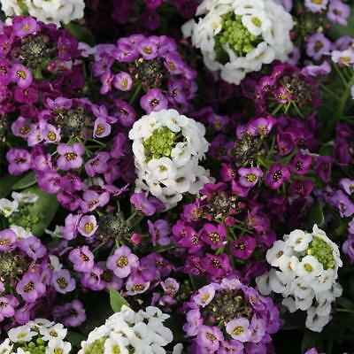 100pcs Sweet Alyssum (Lobularia Maritima) mixed colors flower seeds