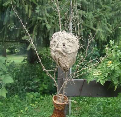 "Vintage LARGE 11"" x 15"" REAL Hornets- PAPER WASP NEST on a 5 + Ft. BRANCH"