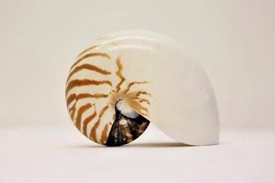 XL Large Chambered Nautilus Shell - Natural Sea Shell - Mother of Pearl