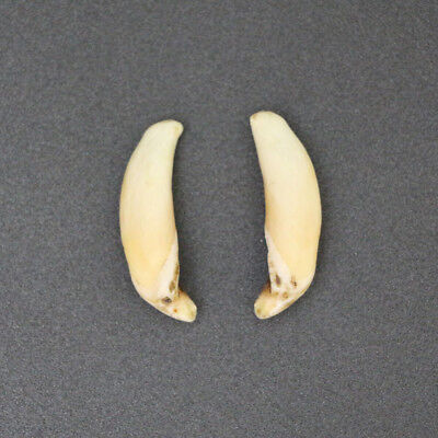 Wolverine - Taxidermy Pair Of Tusks For Sale - Teeth, Canines, Fangs