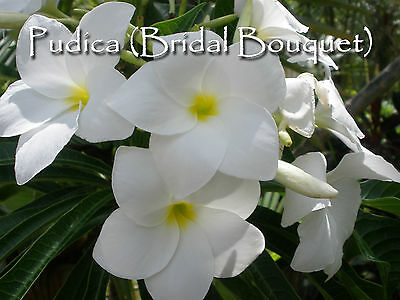 Sale Evergreen! Plumeria Pudica Bridal Bouquet Cuttings Rare Elegant & Exotic