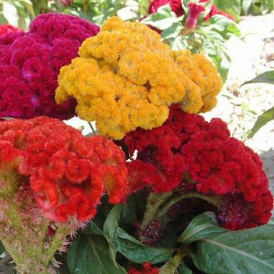 500 pcs flower Seeds Cockscomb (Celosia Cristata) mix colors