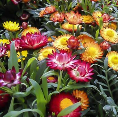 500 pcs flower Seeds Helichrysum (Helichrysum Bracteatum) mixed colors