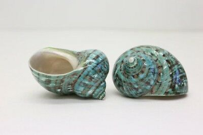 Large Turbo Borghese - Pearlized sea Shells - Mother of Pearl - Natural Polished