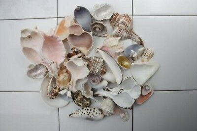 Bag of 40+ Sea Shell Slices - Natural Decor and Craft Shell Craft. Natural Craft