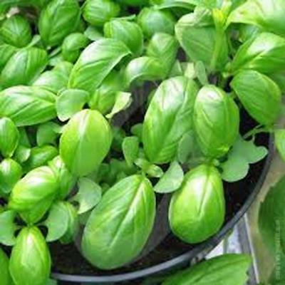 Basil, Sweet Genovese, Organic, NON-GMO,100+seeds per package,Italian Herb