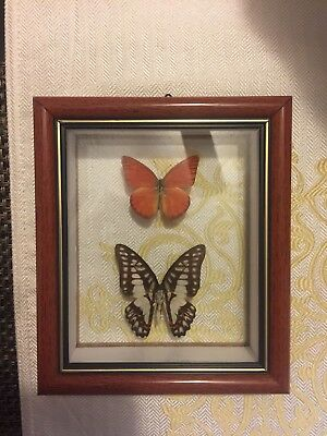 Butterflies framed real specimens- appias nero and graphium doson