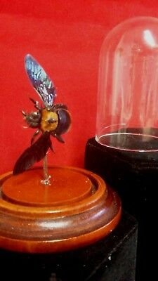 Taxidermy Preserved Iridescent Carpenter Bee Female Glass Dome Display-insect