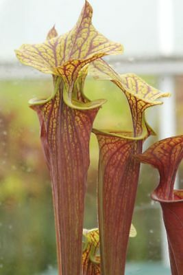 Sarracenia Flava var. rubricorpora  All Red F26